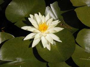 Hardy Water Lily Live Plant, Yellow, Guaranteed