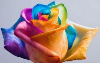 Semillas de Rosa ARCOIRIS RAINBOW ROSE SEEDS flores colores flowers