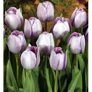 Royal Two Triumph Tulip 6 Bulbs  New Light Violet Blue